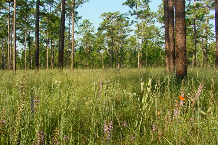 Image of the trees and grasslands at the Apalachicola National Forest.