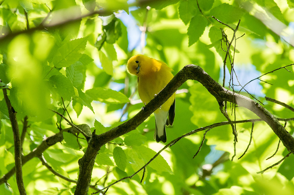 Image of the Prothonotary Warbler.