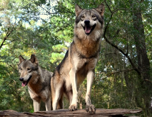 Wolves at the Seacrest Wolf Preserve.