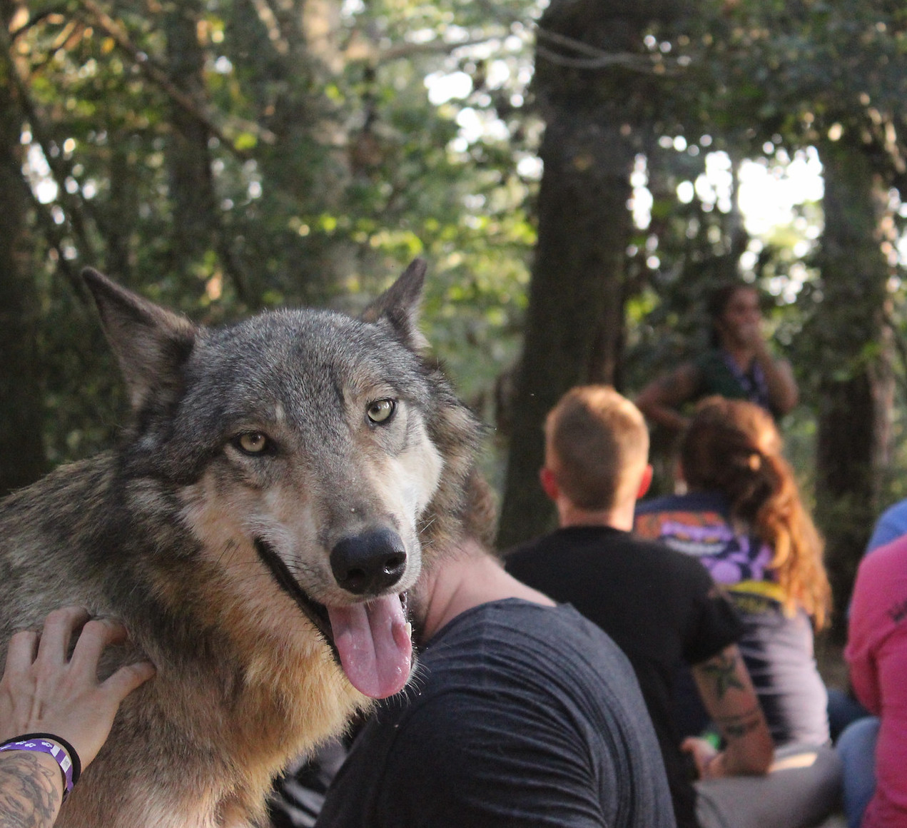 A wolf smiling while being petted.
